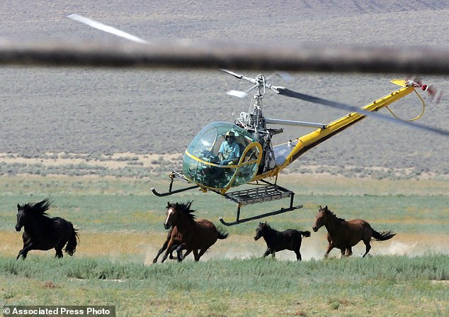 Proposta de Donald Trump condena milhares de cavalos selvagens à morte no México eCanadá