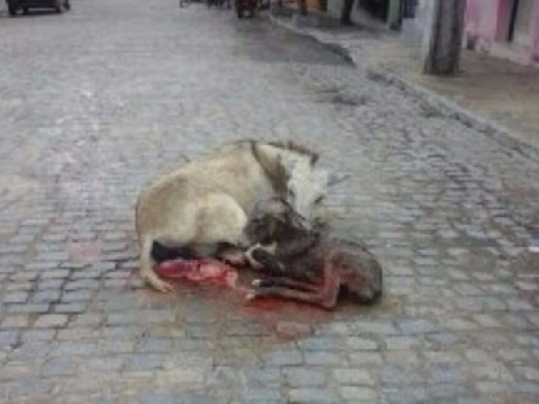 Jumenta puxava carroça quando deu cria no meio da rua, emCapoeiras