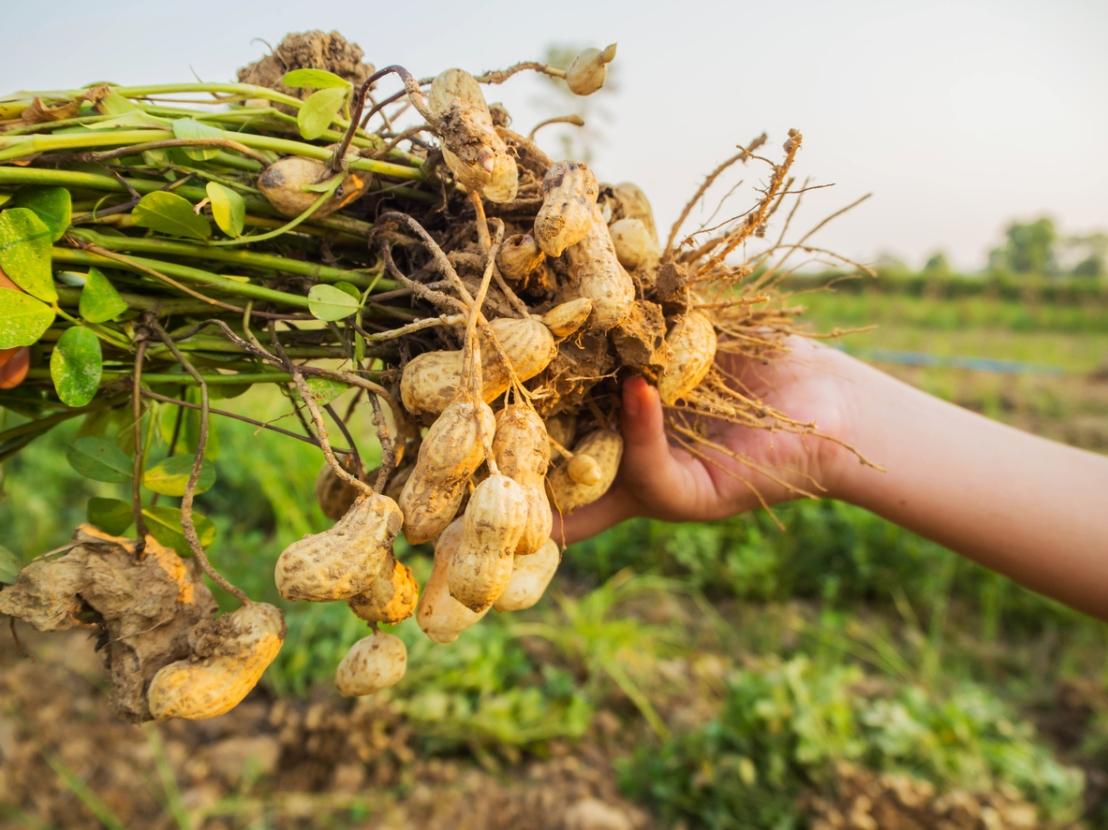 Como plantar amendoim orgânico emcasa