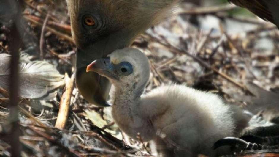 Abutres 'gays' se tornam pais com 'ovo de aluguel' em zoológico naHolanda