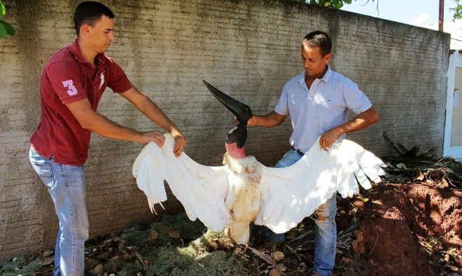 Ave símbolo do Pantanal, tuiuiú é morto a tiro por estar com fome,  2 pessoas são detidas emMT