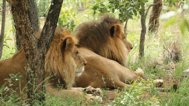 José e Liso, os leões que foram resgatados de circo no Peru e decapitados na África doSul