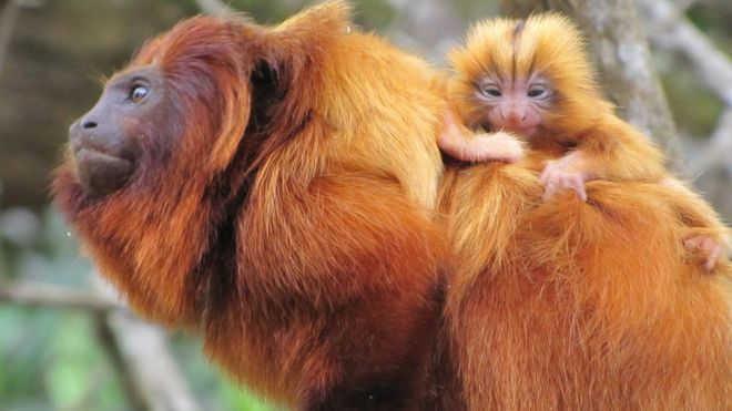Febre amarela pode acelerar extinção de macacosameaçados
