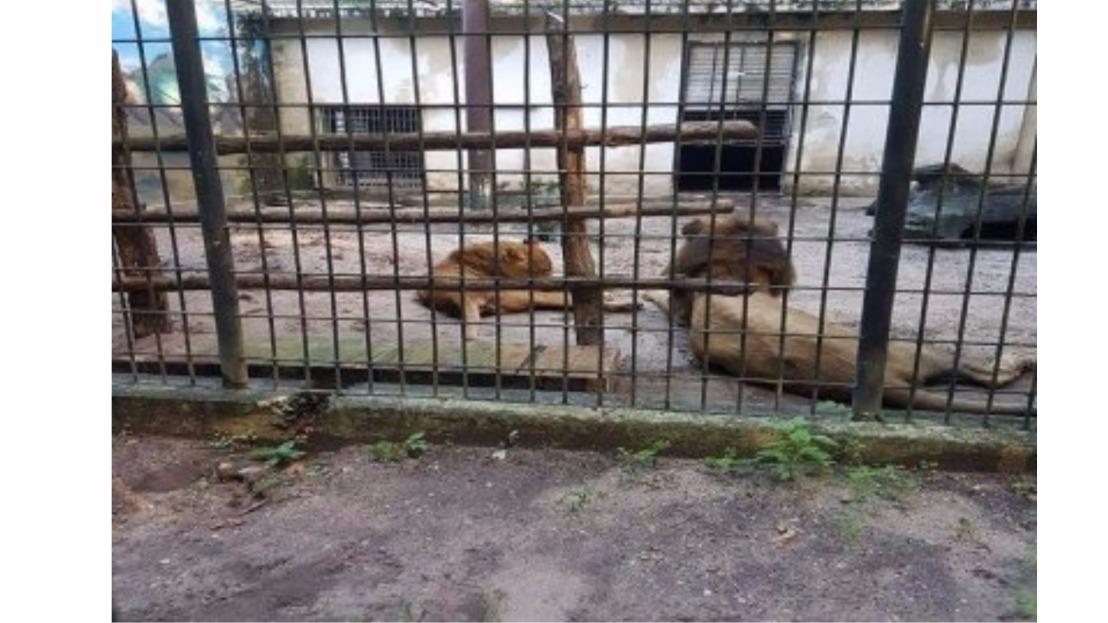 Leão e onça de zoo na Paraíba sofrem com desnutrição enegligência