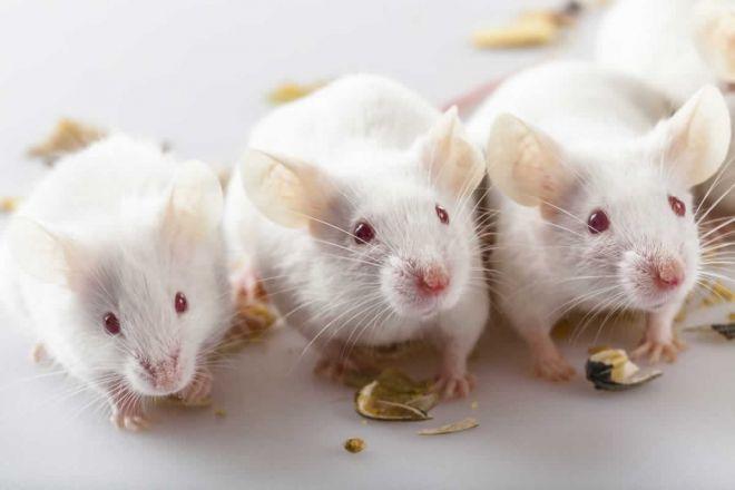 Camundongos são eletrocutados e mortos emuniversidade