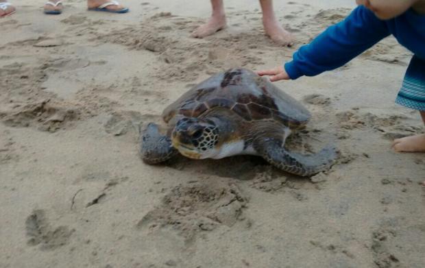Tartarugas ficam presas em rede de pesca e são salvas com ajuda de banhistas em BarraVelha