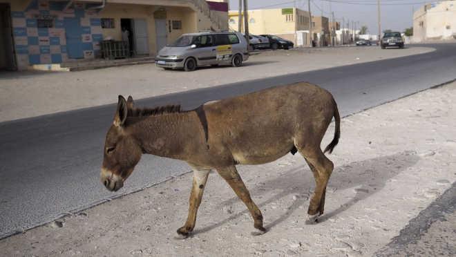 Primeiro elefantes, depois rinocerontes, agora burros estão sobameaça