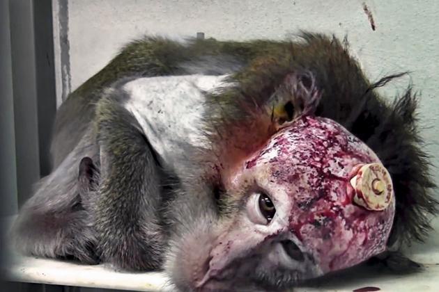 25 Razões por que testes em animais são inúteis ecruéis