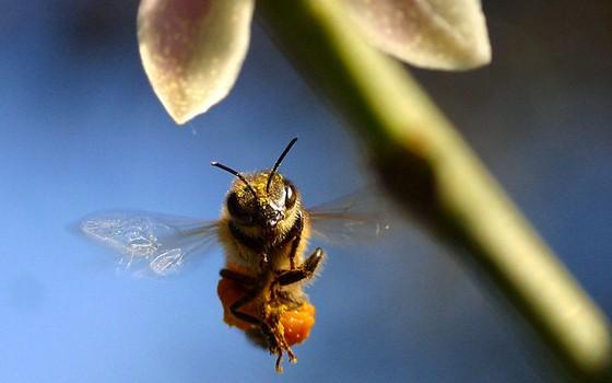 Abelhas estão ameaçadas de extinção, afirmamespecialistas