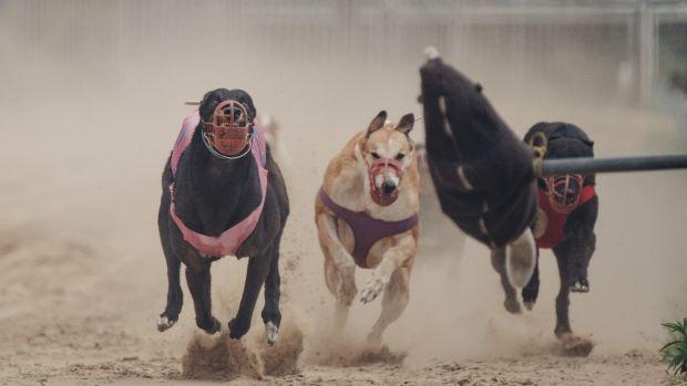 """Cães galgos e chitas são explorados em """"show"""" de corrida emzoo"""
