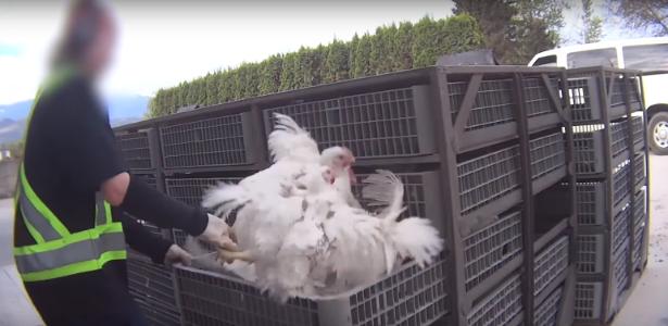 Vídeo flagra agressão a galinhas e gera revolta nos EUA; envolvidos podem serpresos