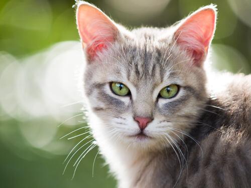 Alergia em gatos – Sintomas etratamento