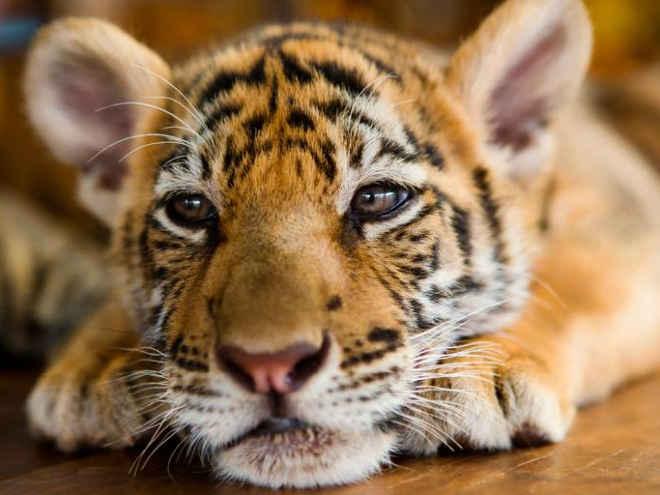 """Uma zona """"duty-free"""" próxima a Tailândia, comandada por investidores chineses serve carne de tigre aturistas."""