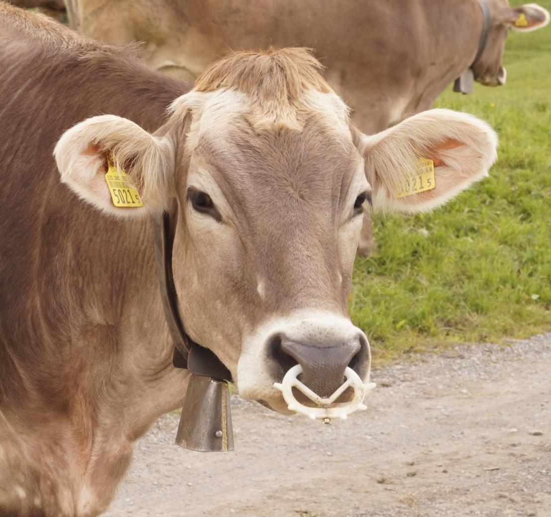 Vídeo  mostra como os bezerros são impedidos de mamar nas fazendas de vacasleiteiras