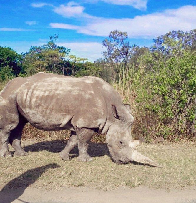 Rinoceronte explorado durante toda a vida em zoo é assassinado porcaçadores