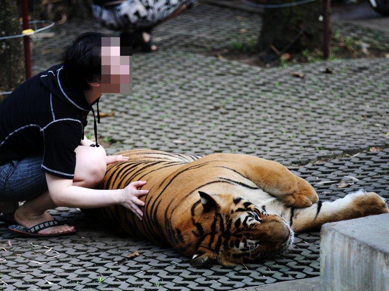 Documentário expõe espancamento de tigres obrigados a tirarselfies