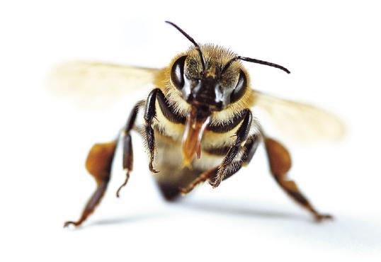 A extinção das abelhas pode acabar com ahumanidade?