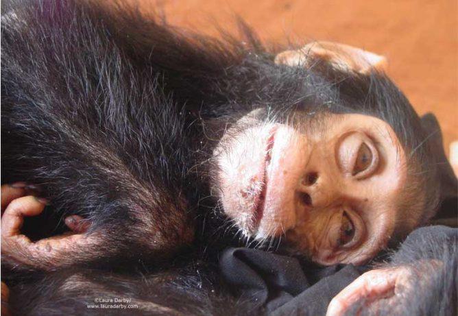 Chimpanzés e gorilas africanos são massacrados pelo comércio dacarne