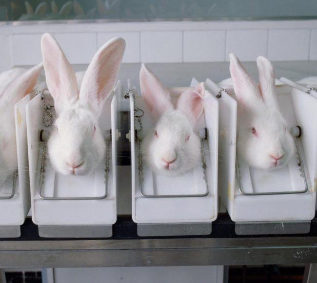 Milhões de animais geneticamente modificados são mortos emlaboratórios