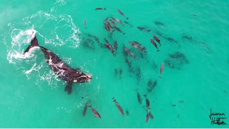 Cinegrafista flagra dezenas de golfinhos brincando com baleia naAustrália