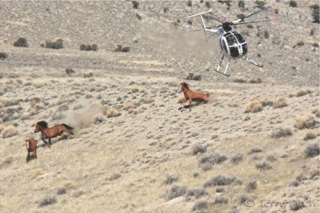 Foto mostra o desespero de cavalos selvagens vítimas da indústria dacarne