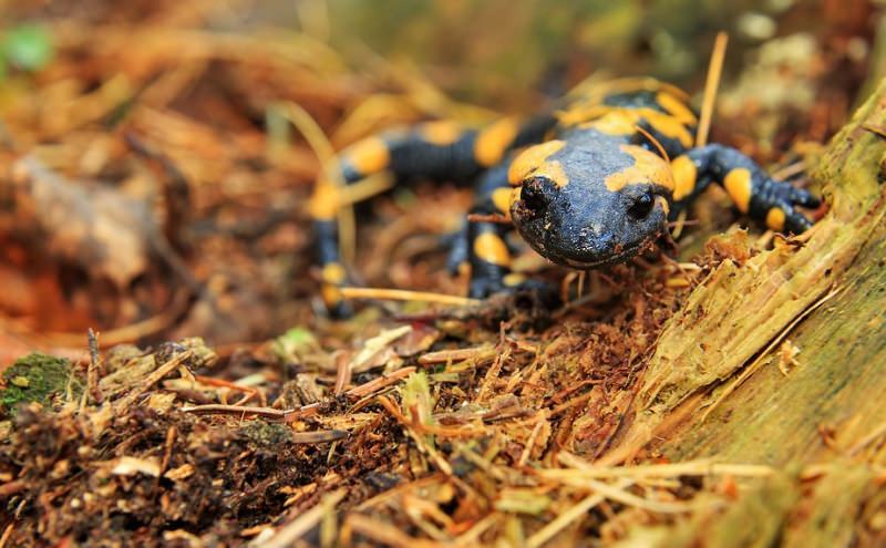 salamandra-comum