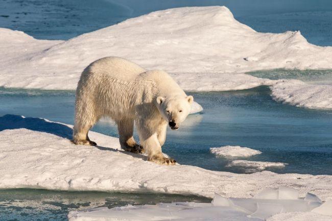 Instabilidade do gelo marinho ameaça sobrevivência de ursospolares