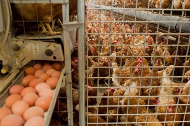 Milhões de galinhas podem ser mortas por causa de ovos contaminados cominseticidas