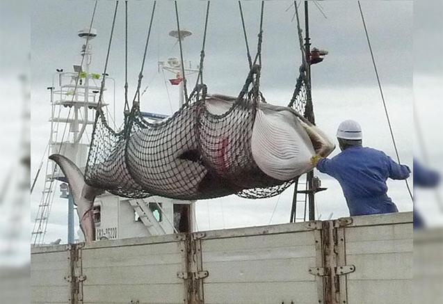 Japão aprova legislação que defende a liberação da caça àsbaleias