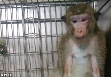 Universidade explora macacos torturados em experimentoscerebrais
