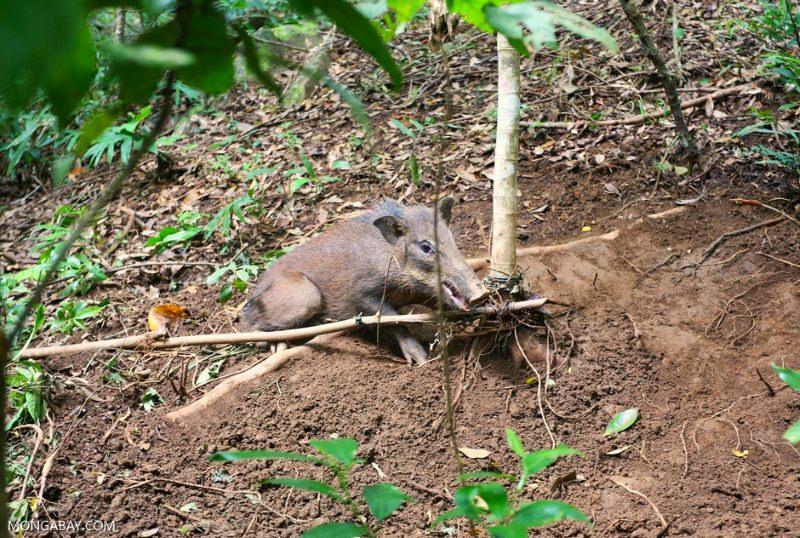 A caça, e não a desflorestação, é a maior ameaça à biodiversidade do SudesteAsiático