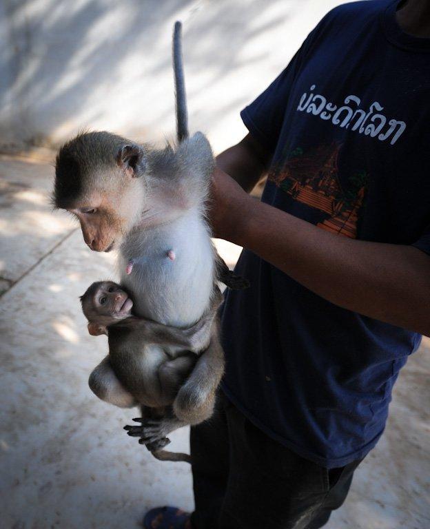 Milhares de macacos aprisionados em fazendas são destinados a uma vida de tortura emlaboratórios