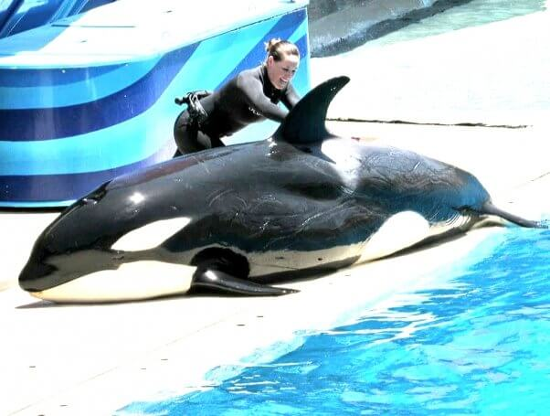 Orca órfã exibe feridas profundas decorrentes do estresse no Seaworld